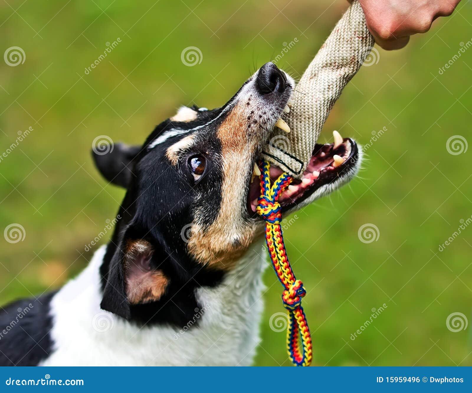 Hund, der in einem Training-blinden beißt