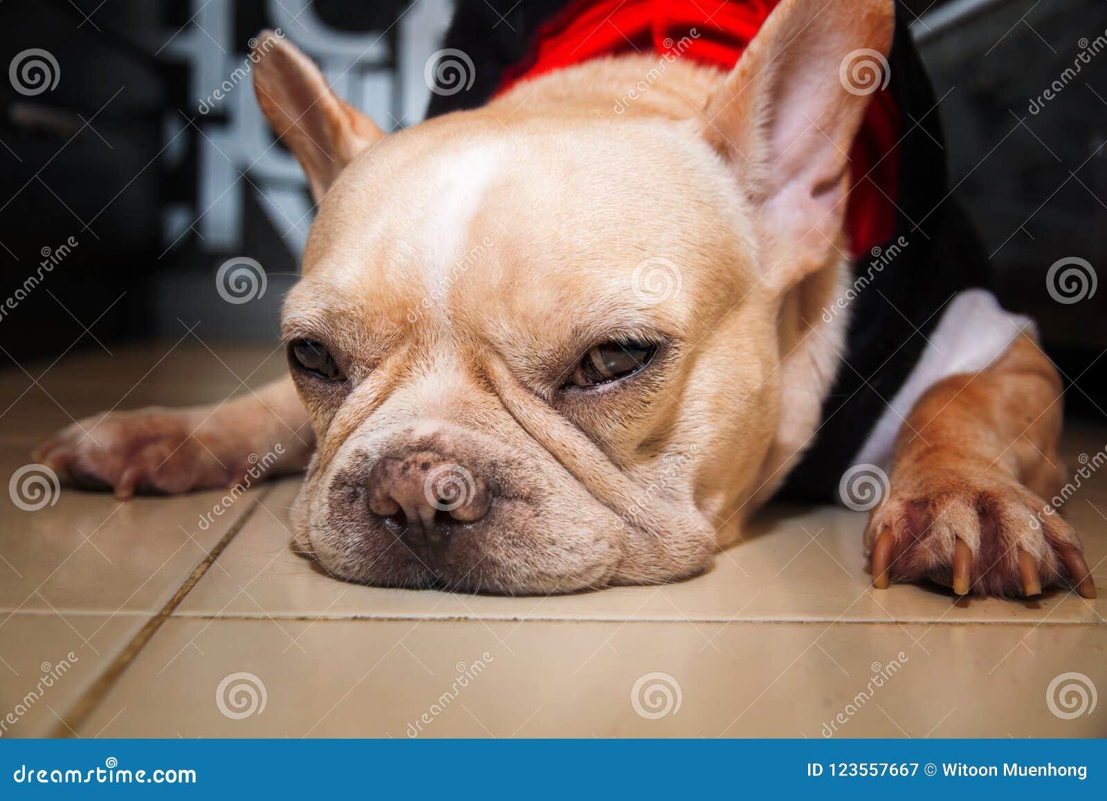 Hund der französischen Bulldogge