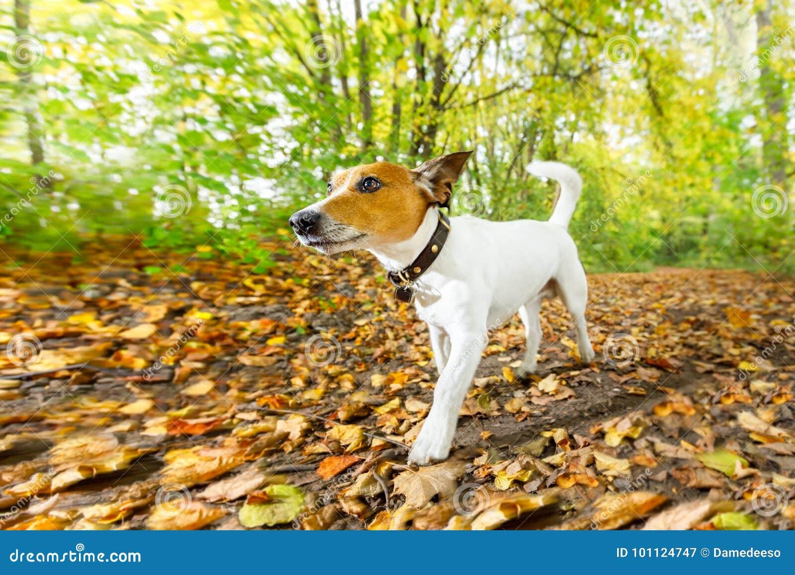 Hund, der in Herbst läuft oder geht