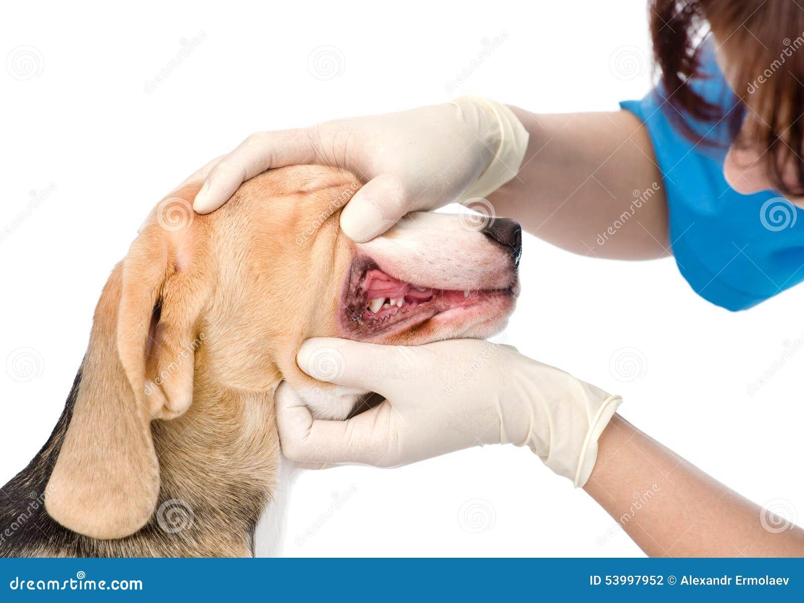 Hund, der Zähne überprüft vom Tierarzt erhält Getrennt