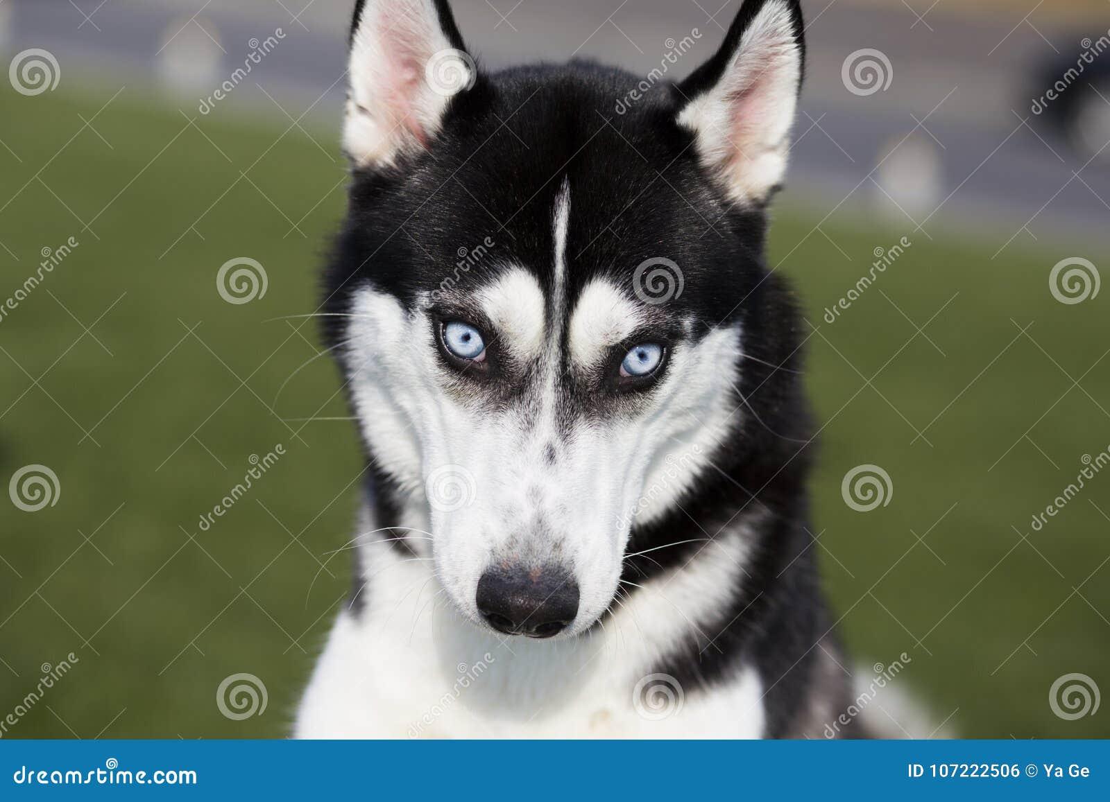 Hund des sibirischen Schlittenhunds