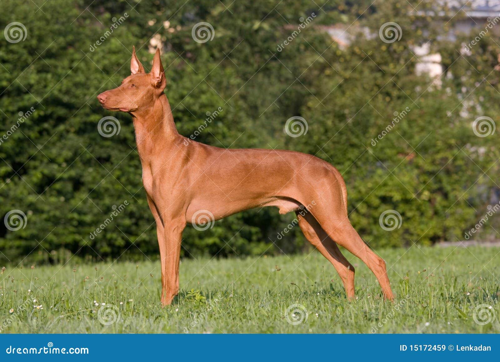 Hund In Einer Wiese - Pharao-Jagdhund Lizenzfreie Stockbilder - Bild ... Adorable
