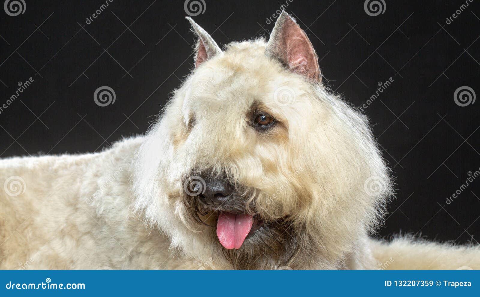 Hund för Bouvier des som Flandres isoleras på svart bakgrund
