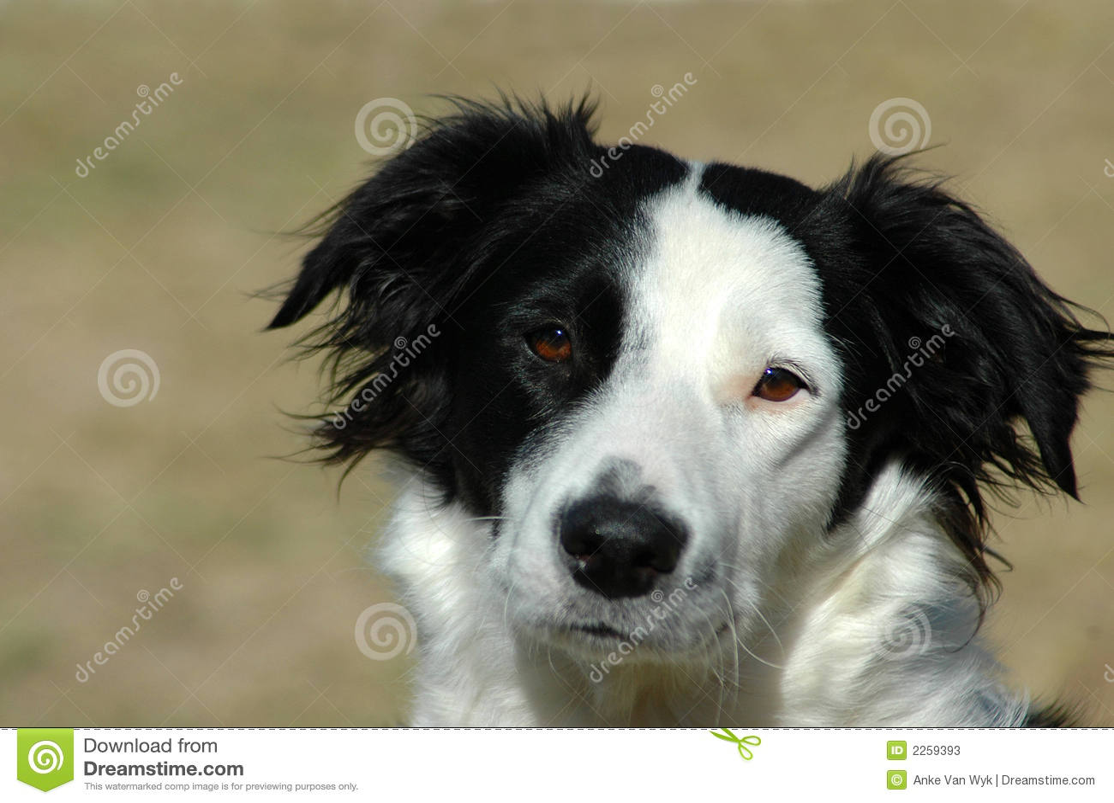 Hund för kantcollie