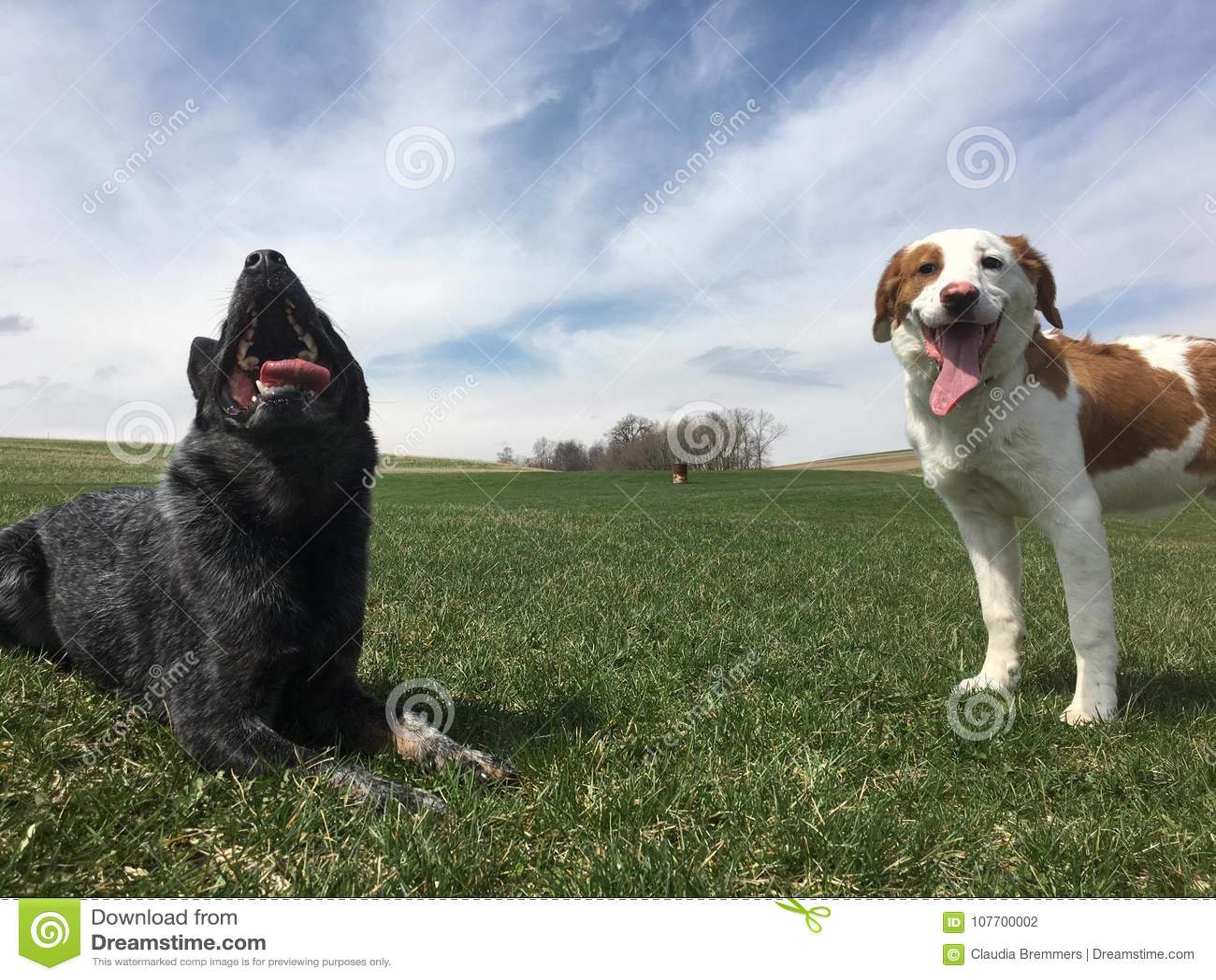 Hund för nötkreatur för blå Heeler hundkapplöpning australisk