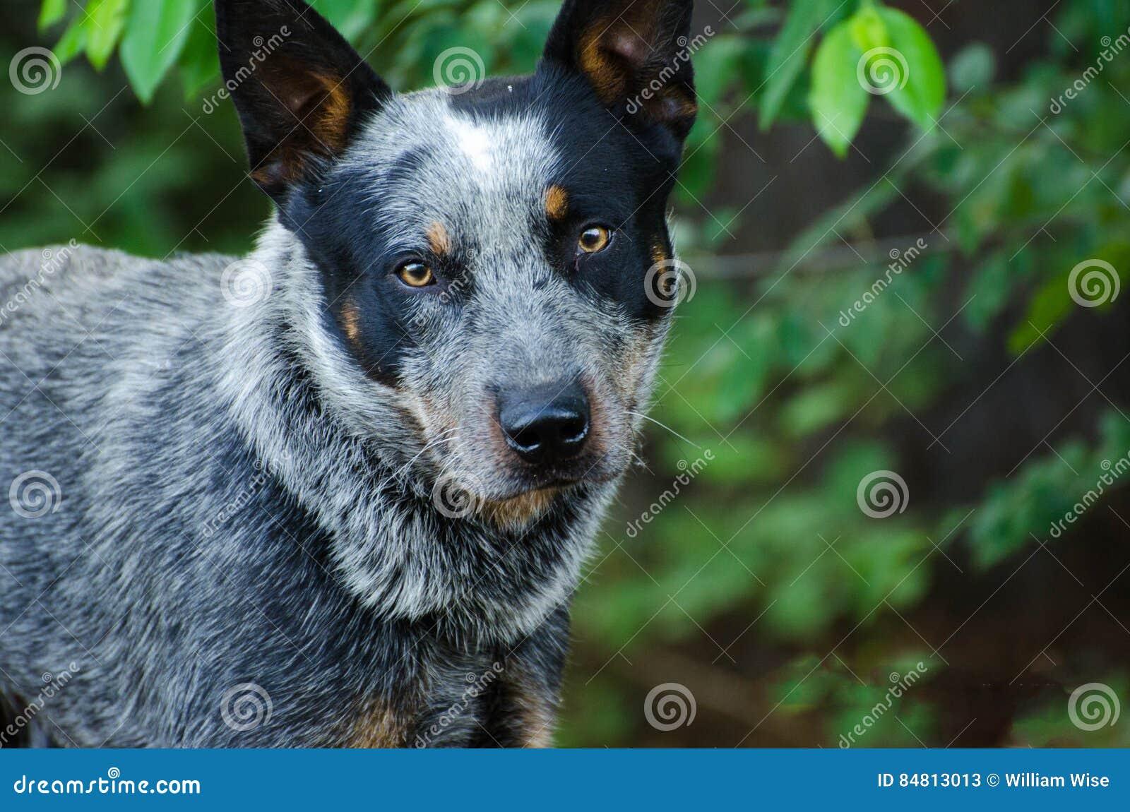 Hund för Queensland blåttHeeler nötkreatur