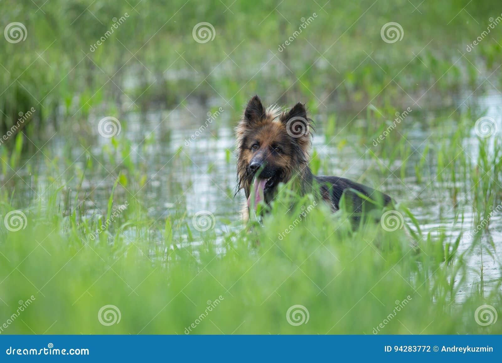 Hund för tysk herde i sjövatten