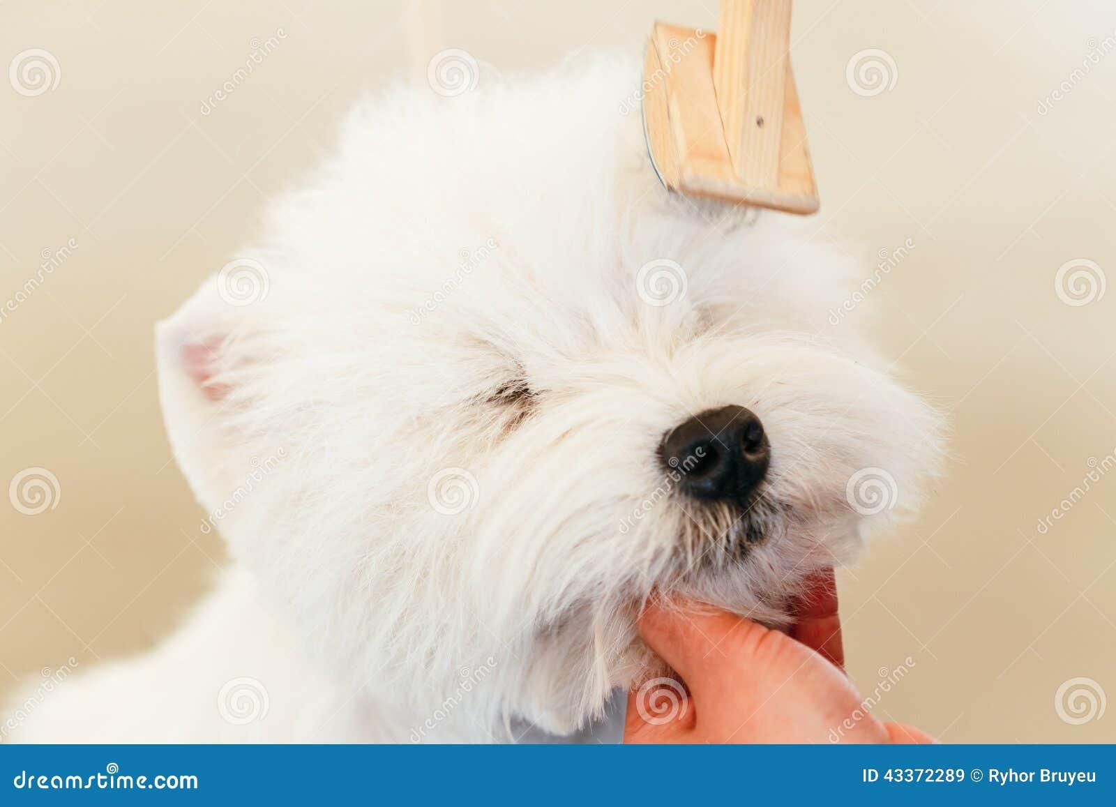 Hund för vit terrier för västra högland