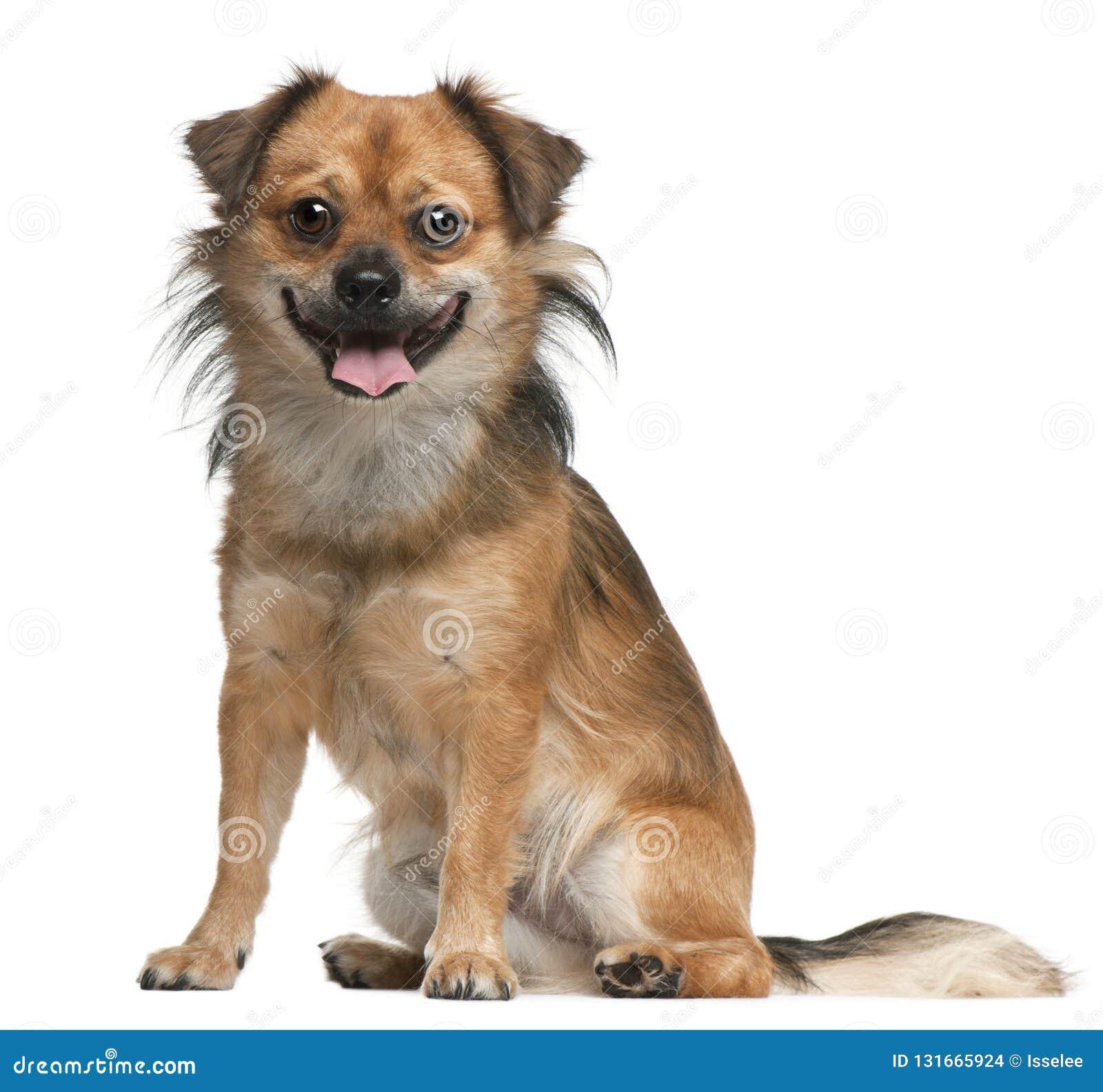 Hund 18 gamla som månader framme sitter av vit bakgrund