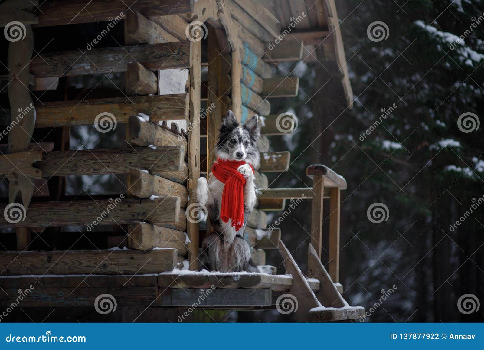 Hund i en röd halsduk på trähuset vinter för kantcollie Husdjuret på går