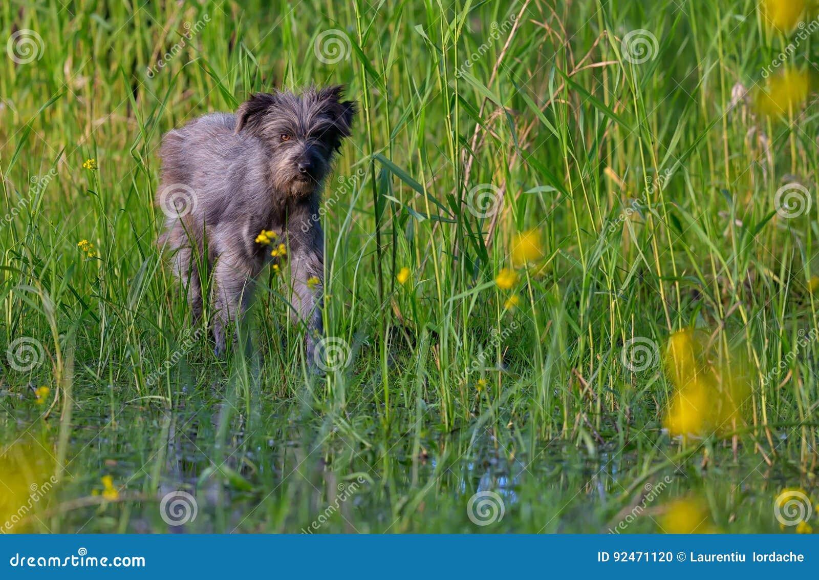 Hund i ett träsk