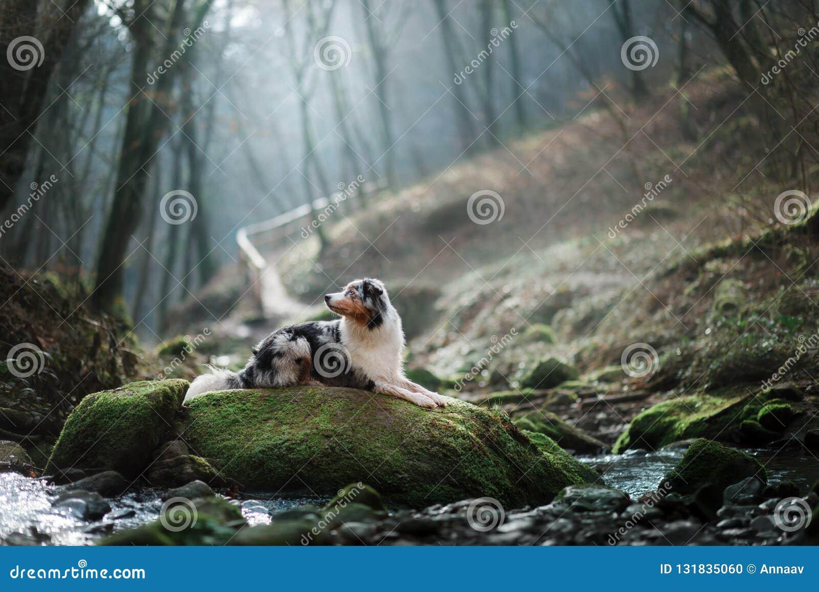 Hund i natur i morgonen Australisk herde på soluppgång nära vattnet Husdjur för en gå