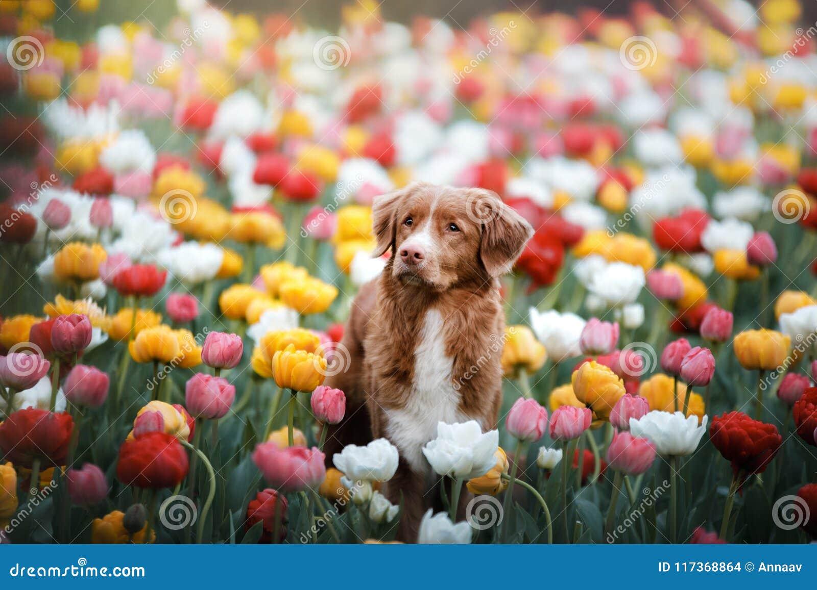 Hund i tulpanblommor Husdjur i sommar i natur Toller