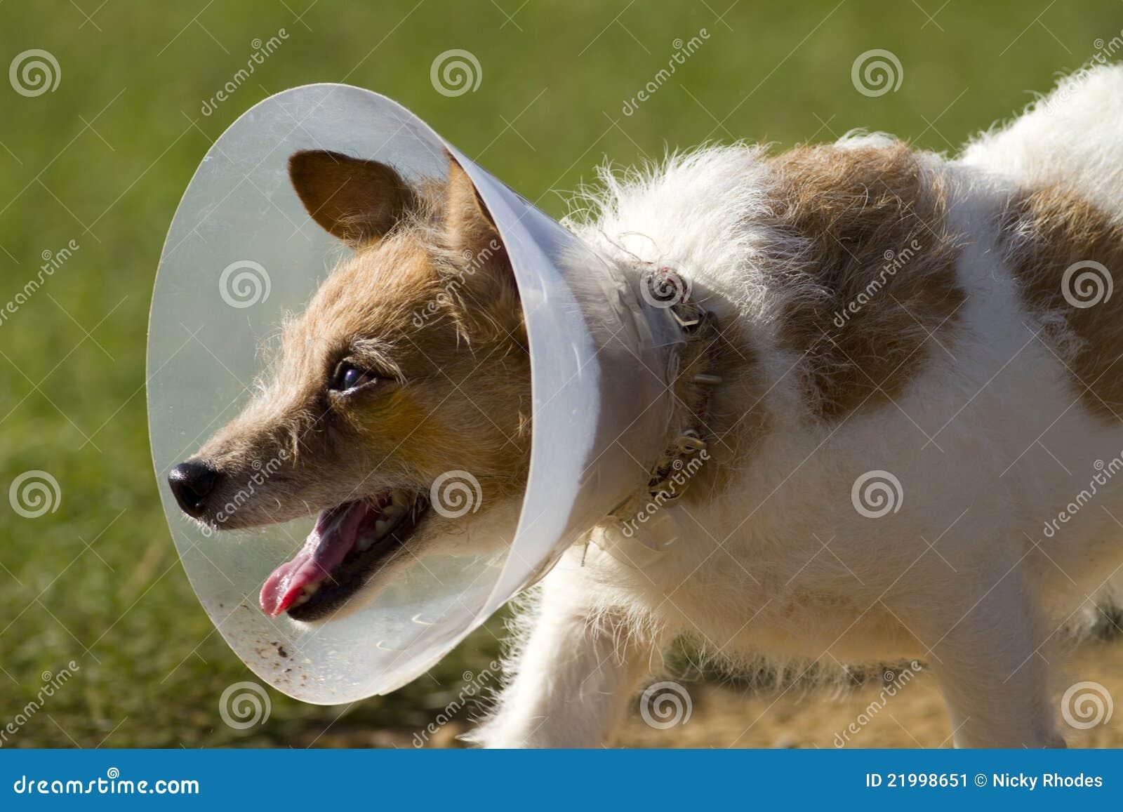 Hund im Stutzen-Kegel-Kragen