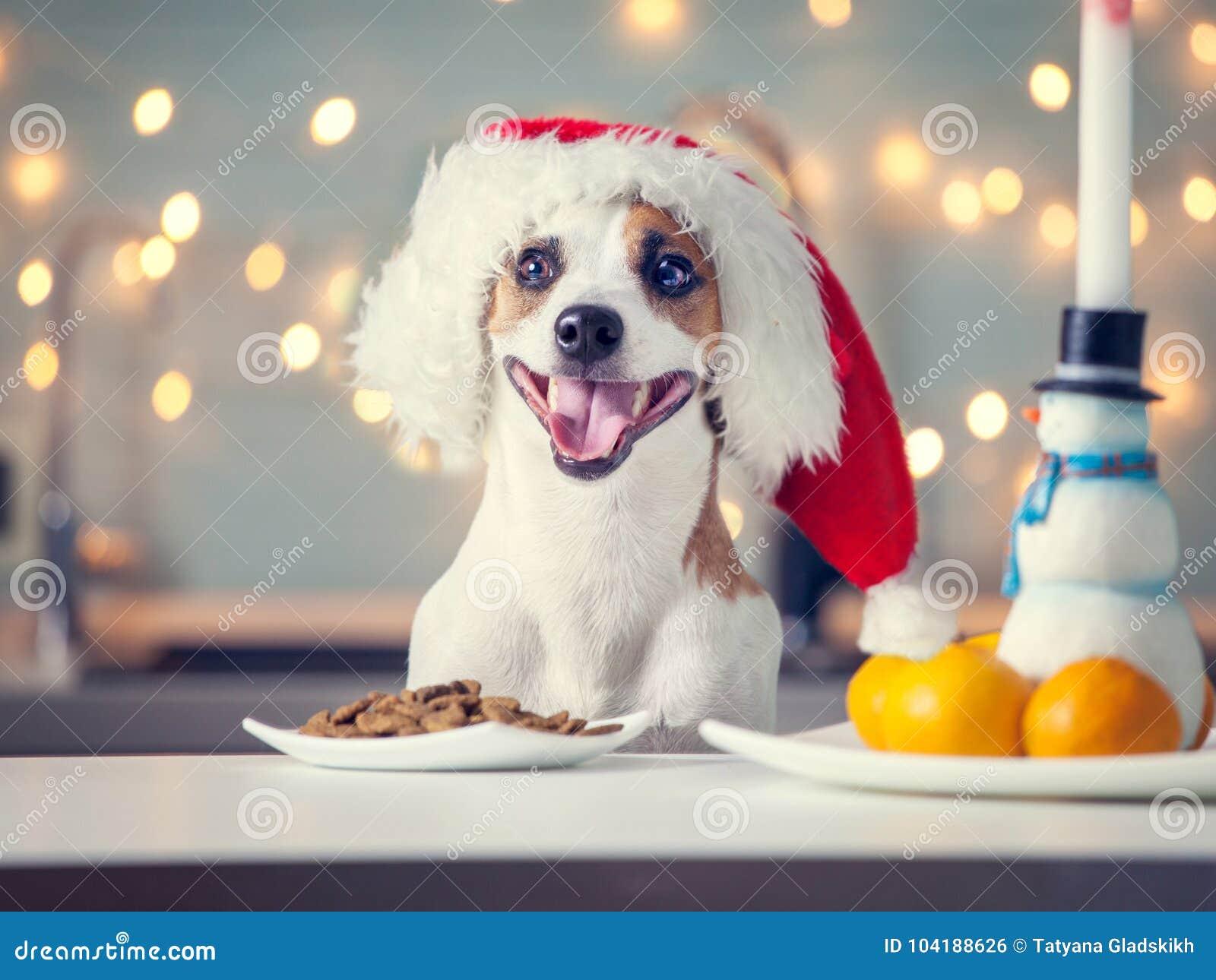 Hund im Weihnachtshut Lebensmittel essend