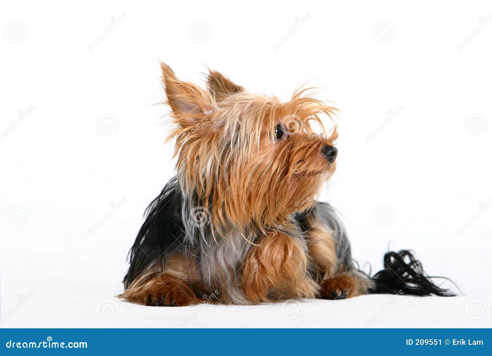 Hund little