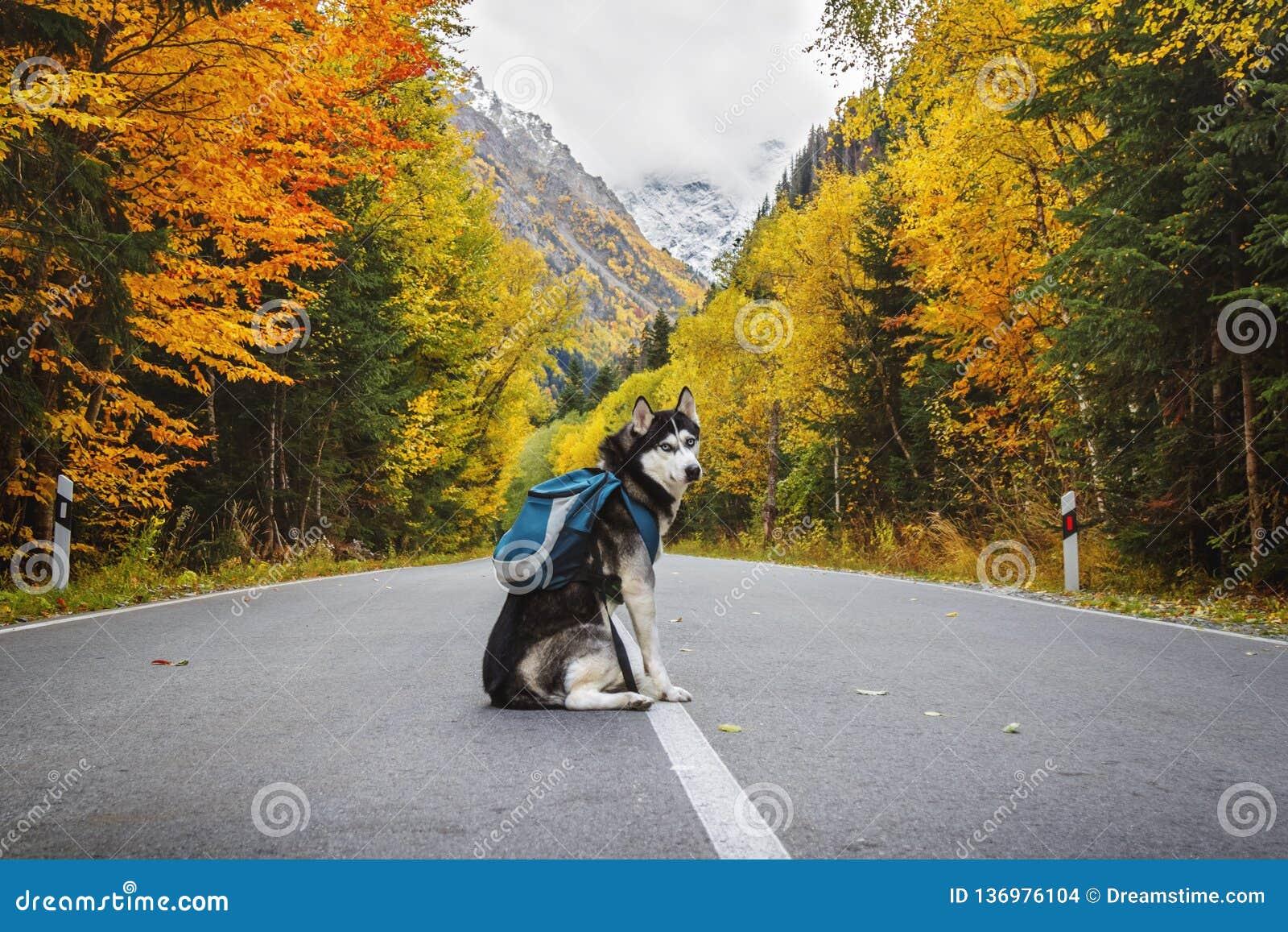 Hund med en ryggsäck på vägen