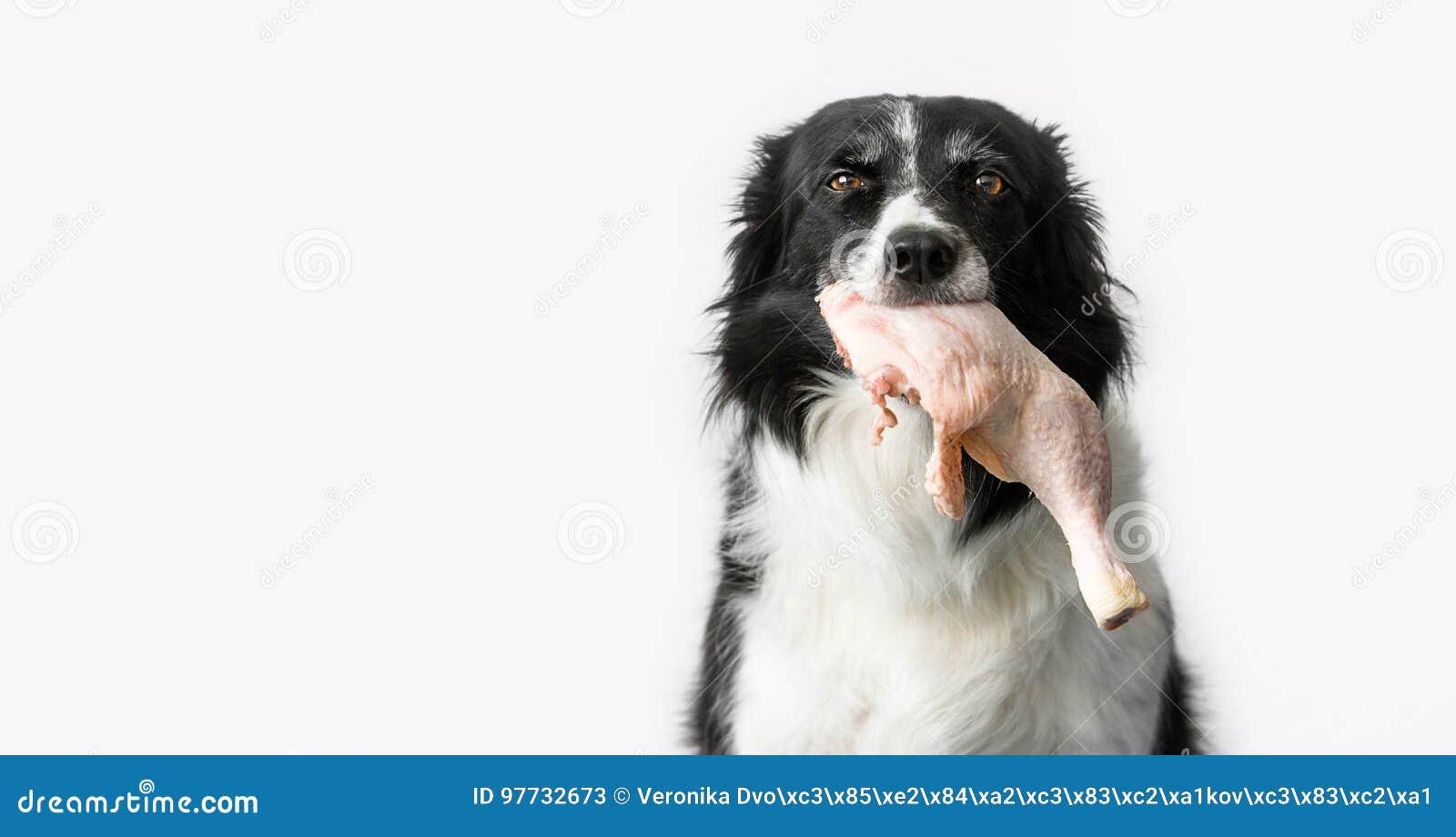 Hund med rått kött i mun