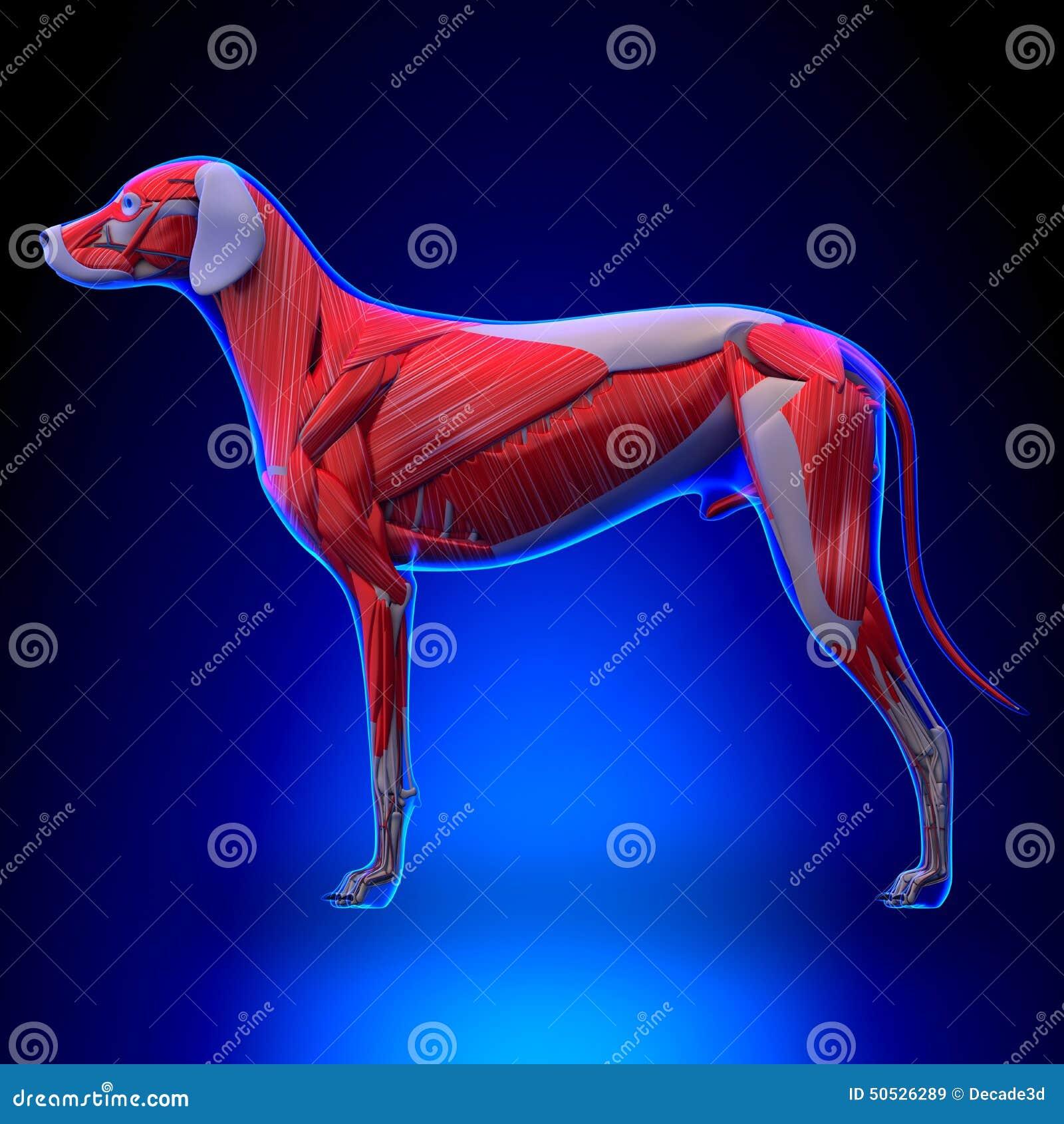 Hund Mischt Anatomie - Muskulöses System Des Hundes Mit Stock ...