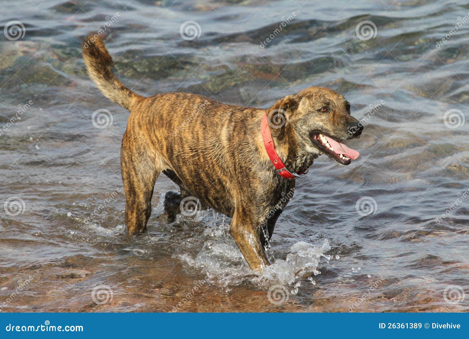 Hund mit dem roten Kragen, der im Wasser steht