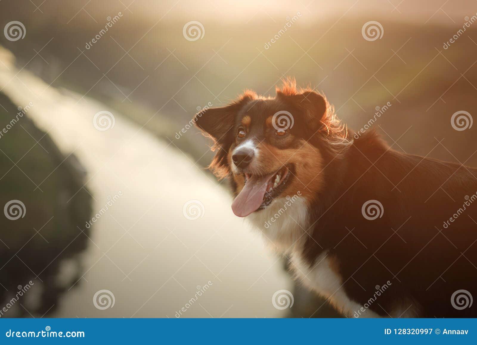 Hund på solnedgången i natur Husdjur på en träbro lydig australisk herde