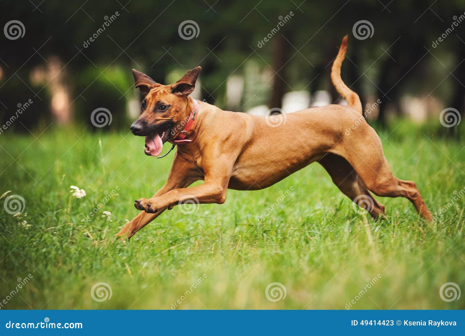 Download Hund Rhodesian Ridgeback, Der In Sommer Läuft Stockbild - Bild von unvorsichtig, glücklich: 49414423