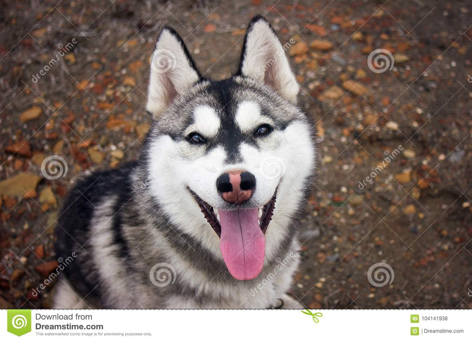 Hund Sibirischer Schlittenhund Der sibirische Husky hagelt von beträchtliche schneebedeckte Ausdehnungen von Sibirien In den Ader
