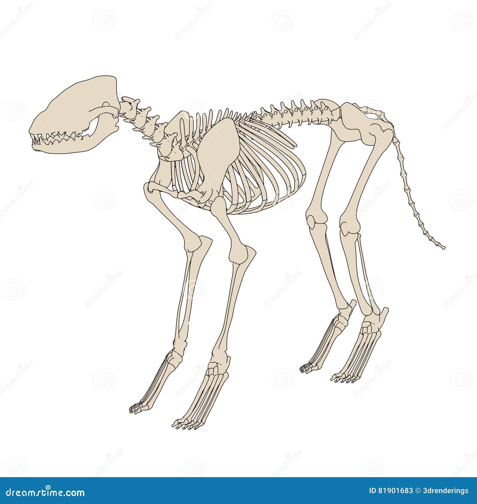 Hund- skelett