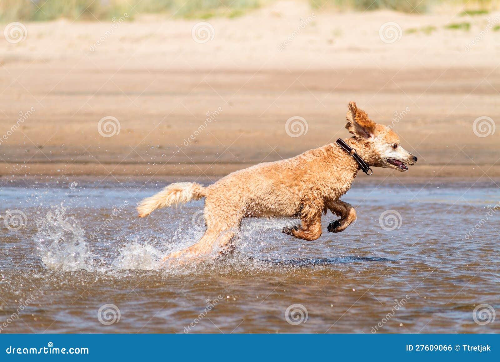 Hund som kör på vatten