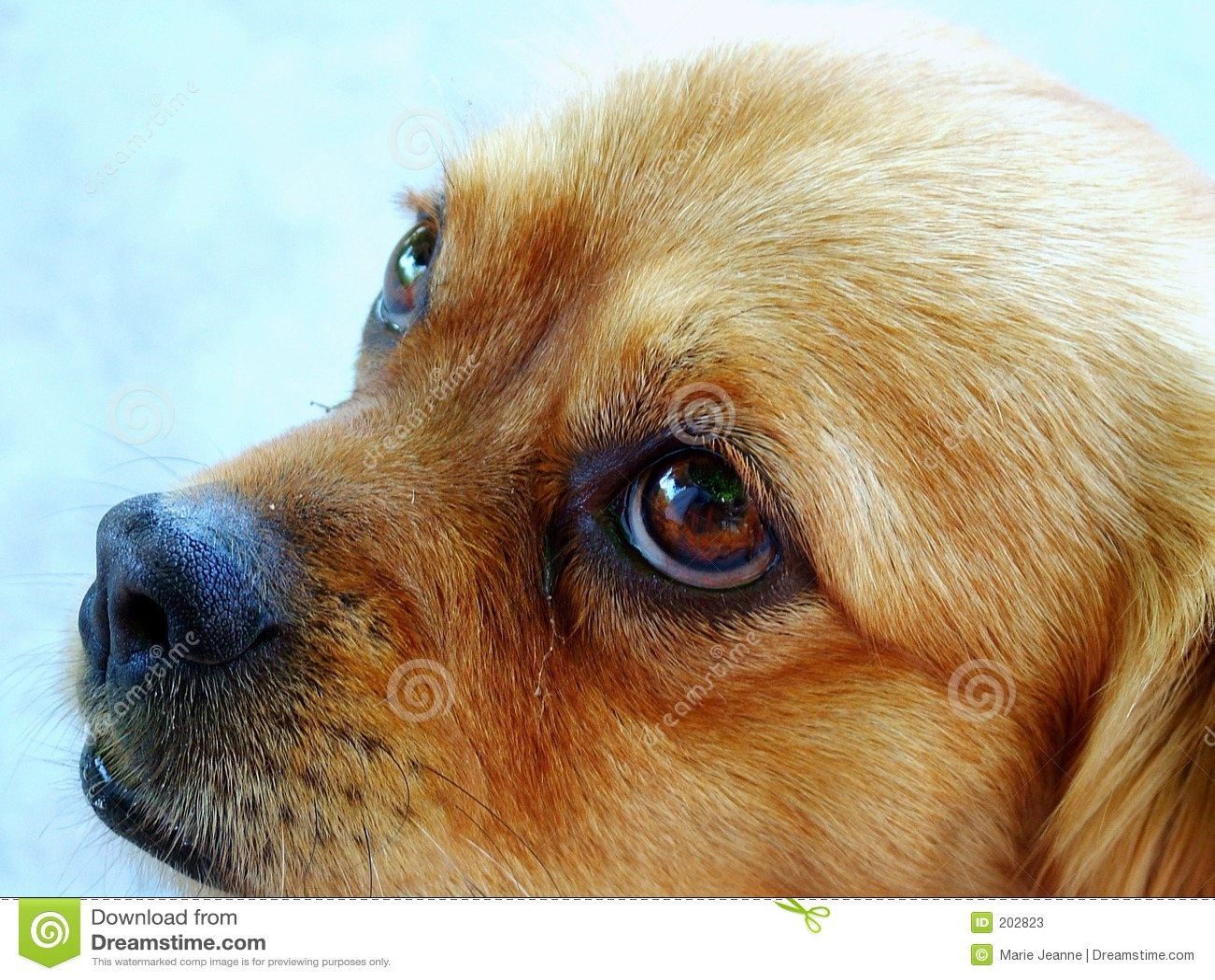 Hund som ser SAD