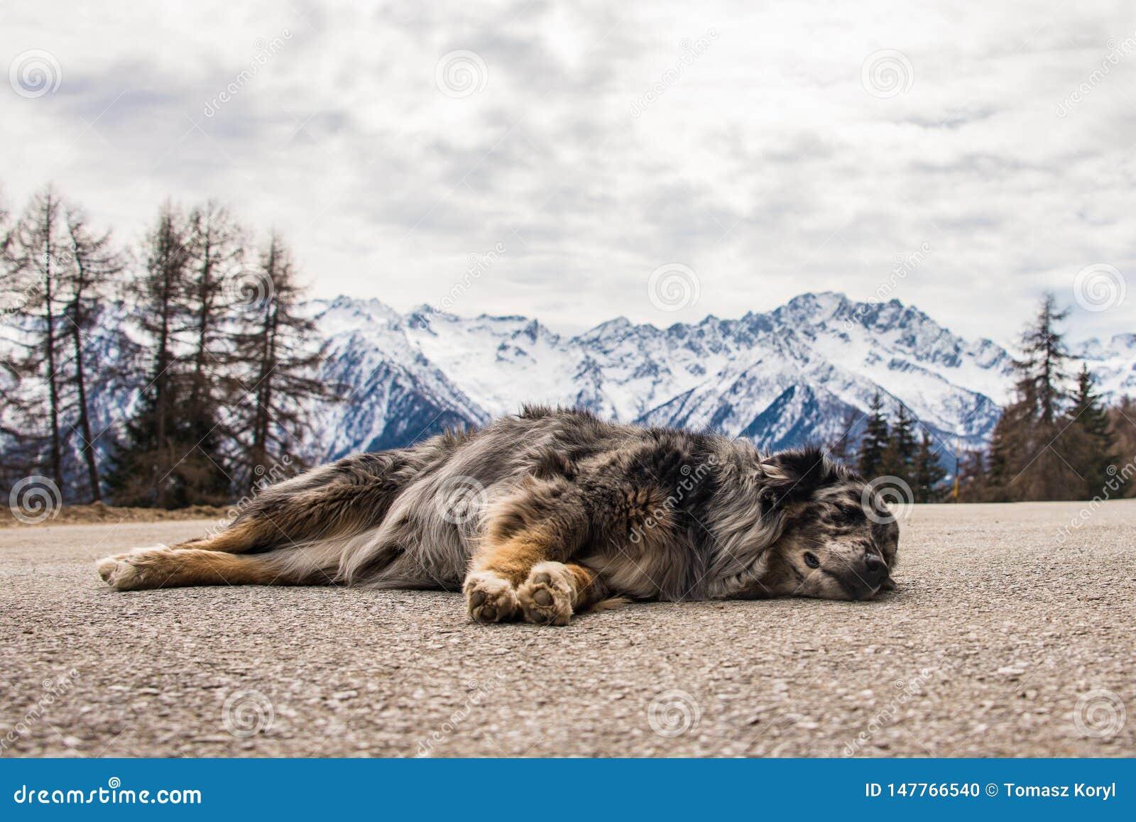 Hund som sover på bergvägen Snö-korkade berg på bakgrunden