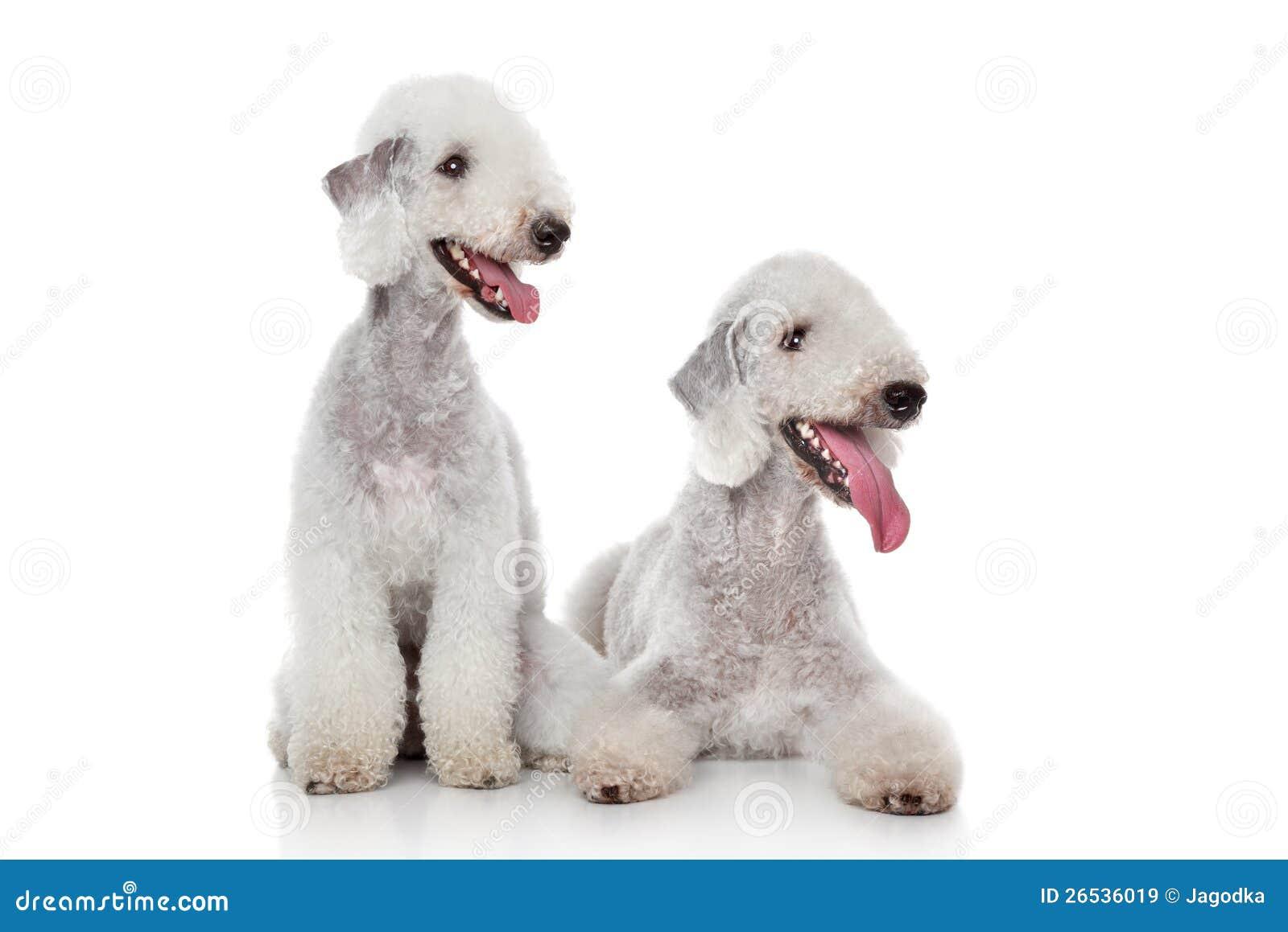 Hundar för Bedlington terrier