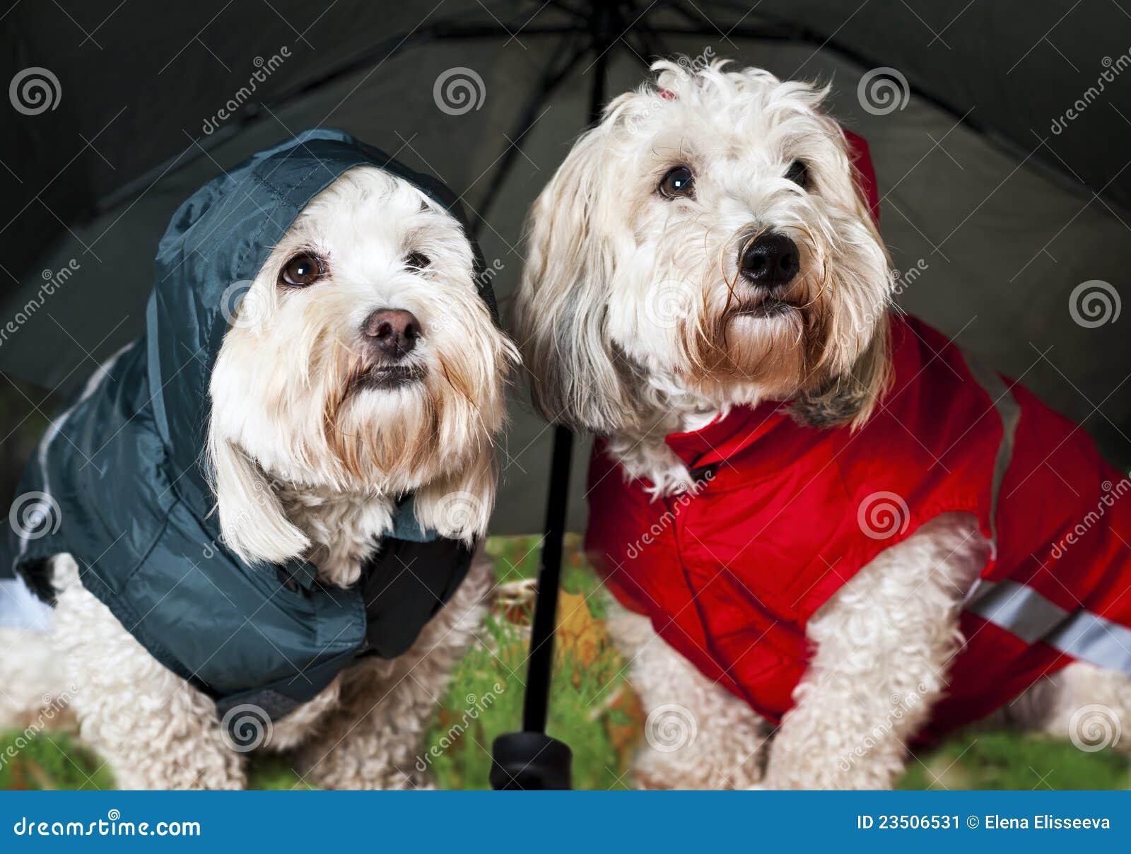 Hundar klädde upp paraplyet under