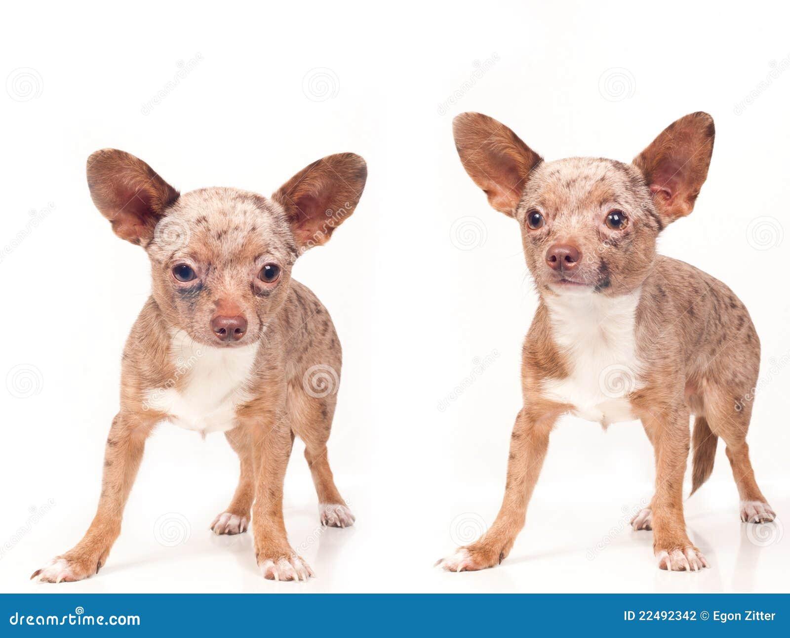 Hundar poserar två