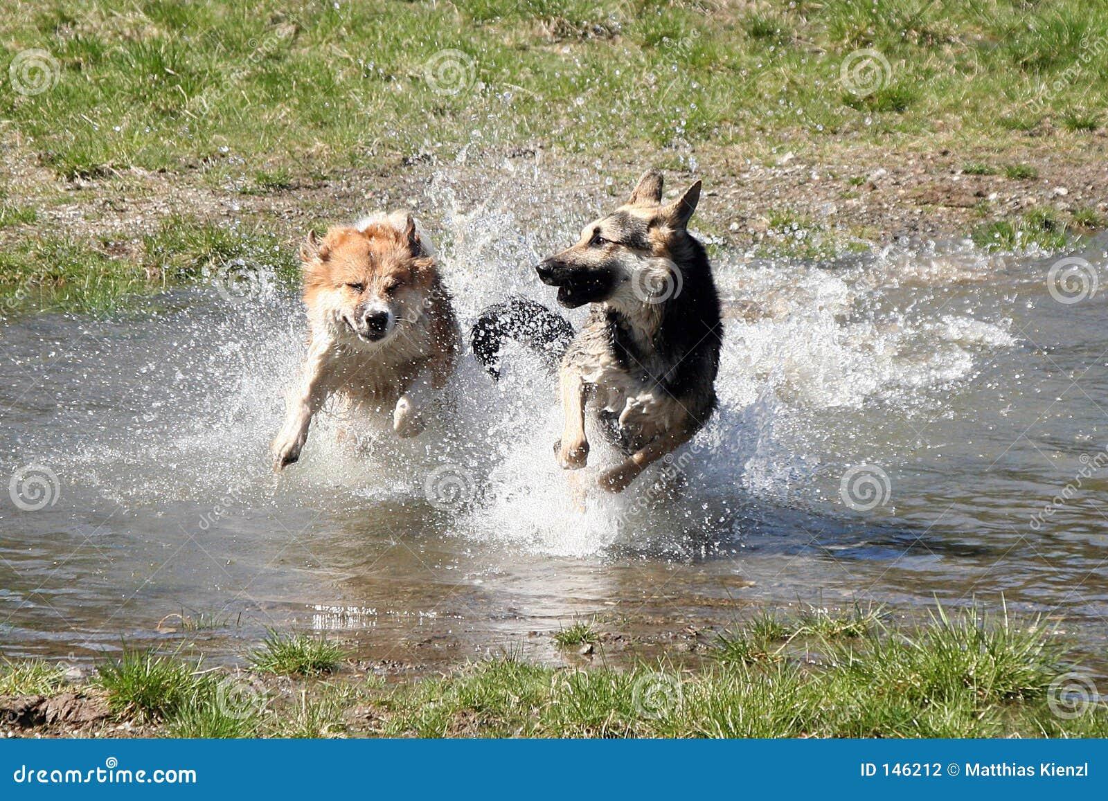 Hundar som kör sidan