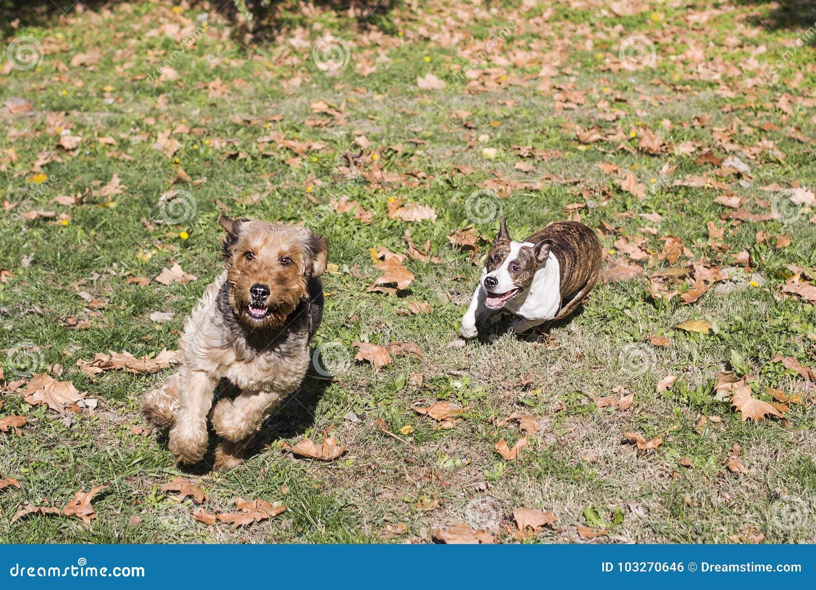 Hundar som kör två