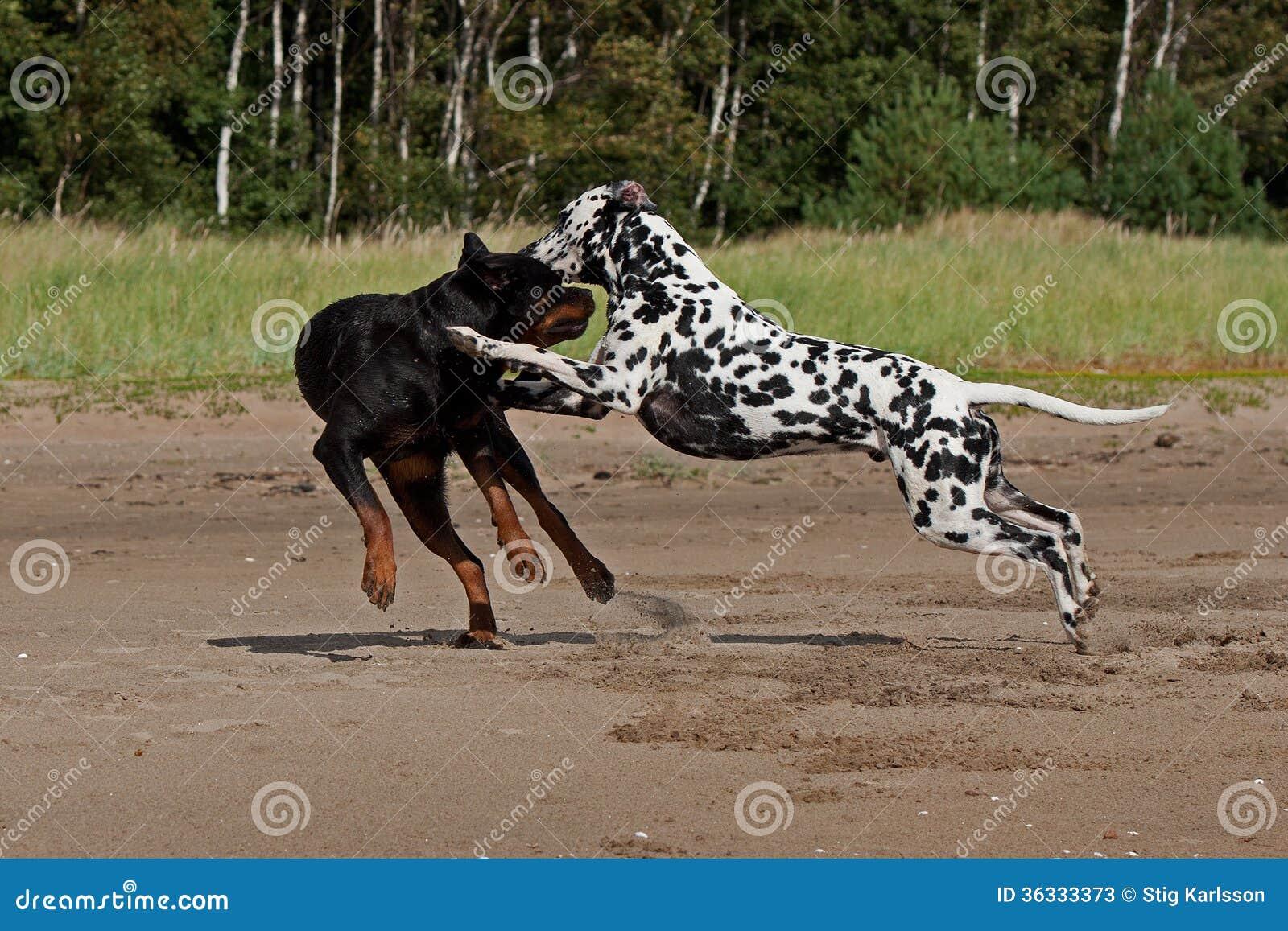 Pitbull Dog Fight Free Videos
