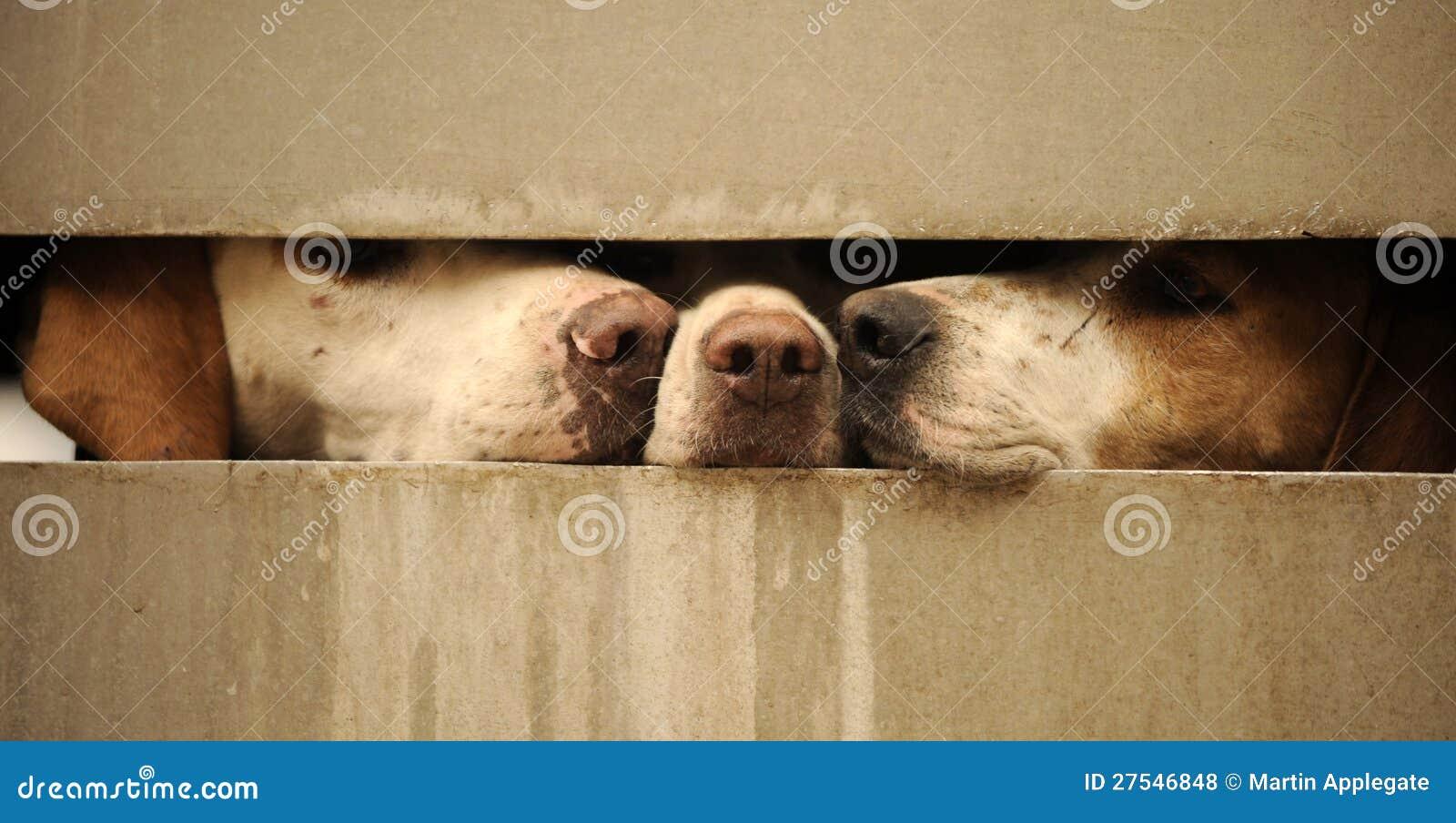 Hunde, die durch Zaun schauen