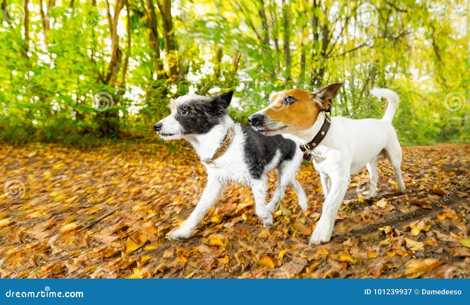 Hunde, die in Herbst laufen oder gehen