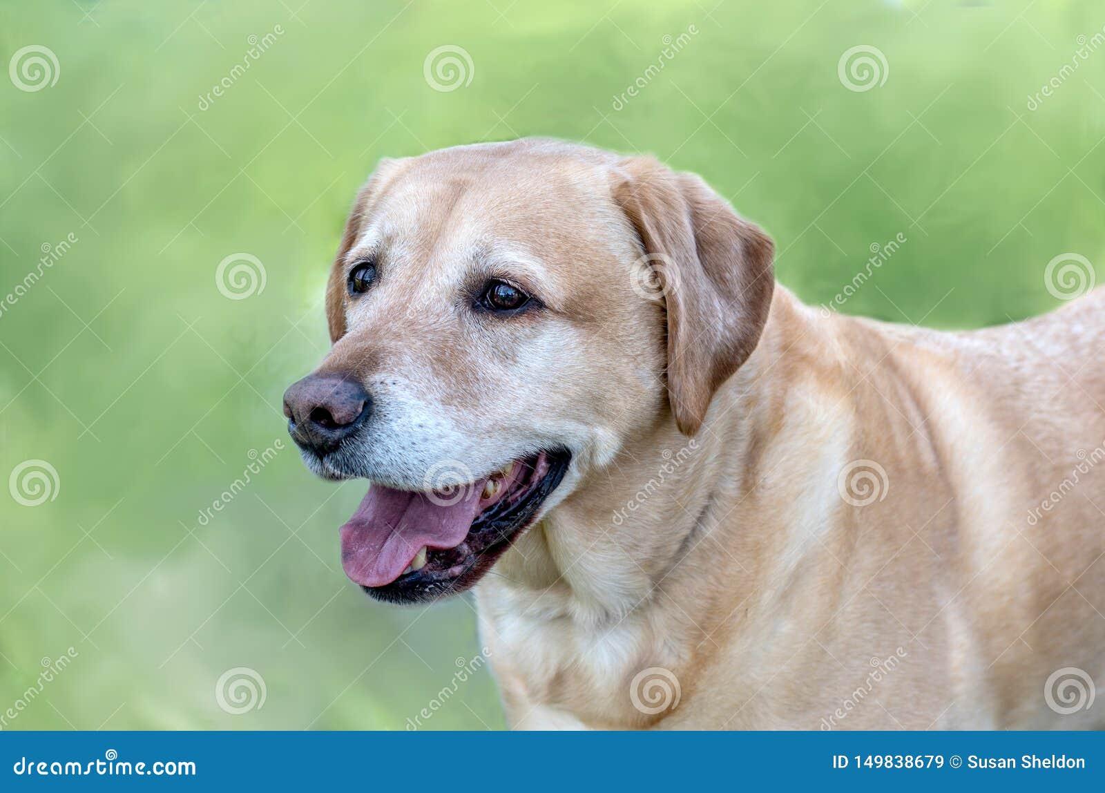 Hunde- Porträt des schönen golden retriever