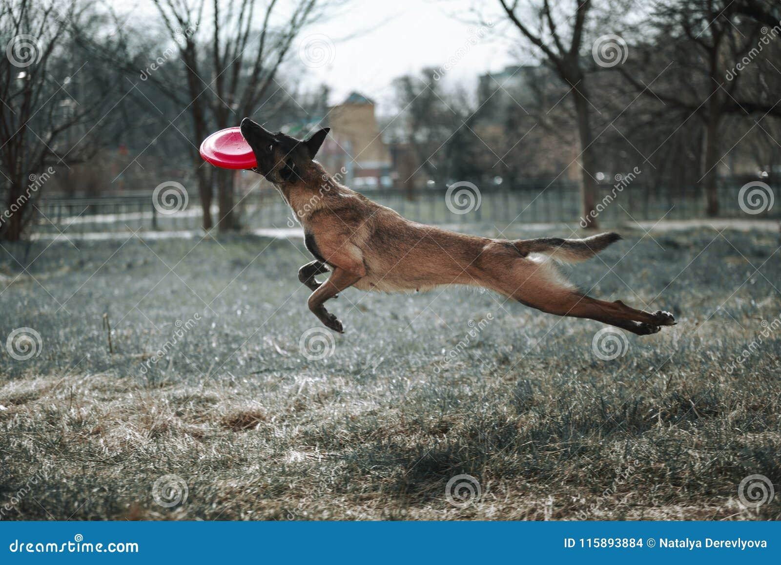 Hunden hoppar högt och spelar i Frisbee