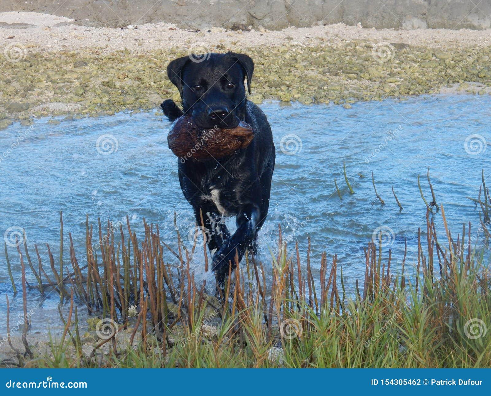 Hunden kör i vattnet