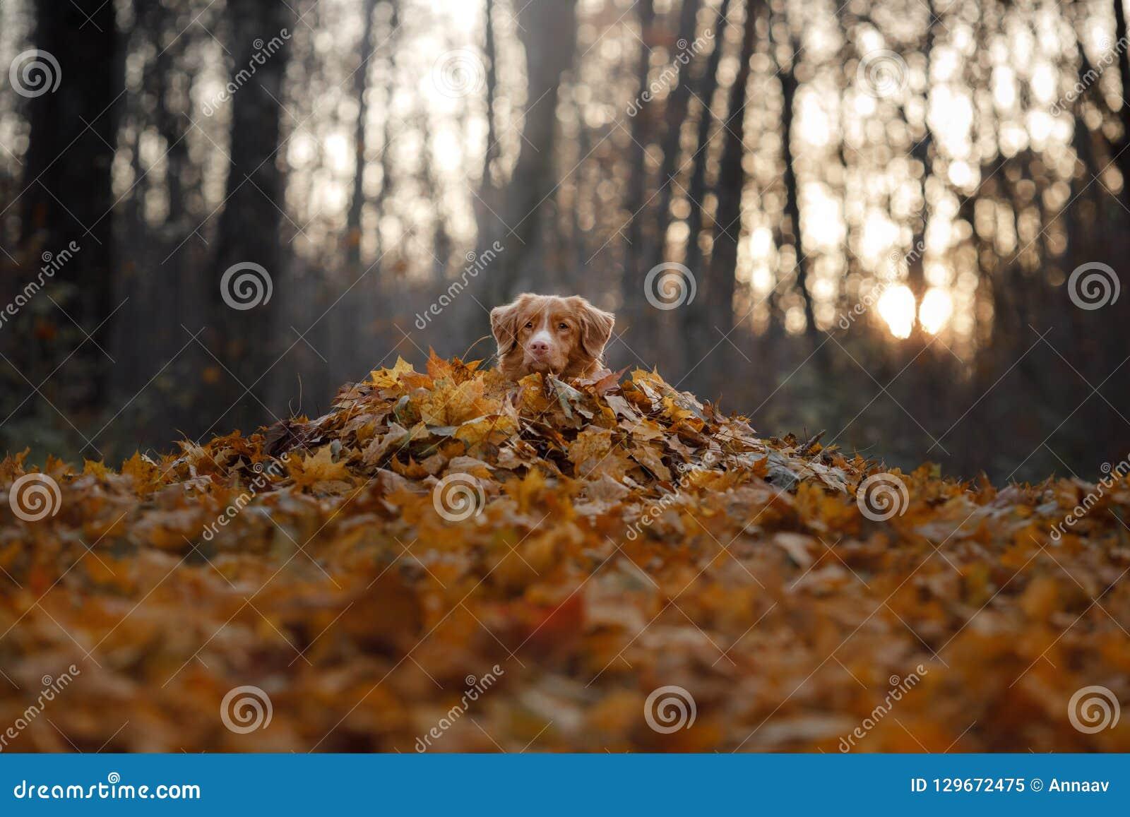 Hunden ligger i höstsidorna husdjur i parkera Toller i natur
