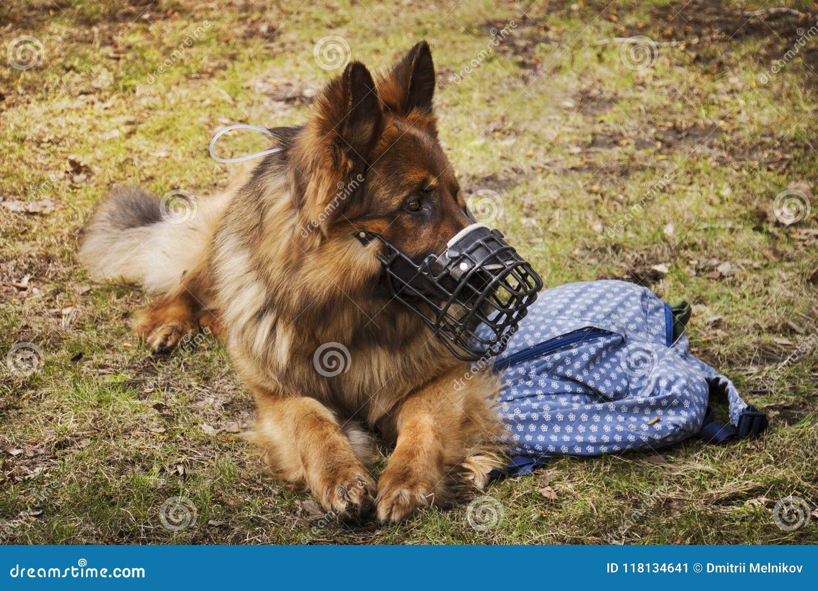 Hunden ligger med den närliggande påsen Hunden är förment att skydda påsen för ägare` s
