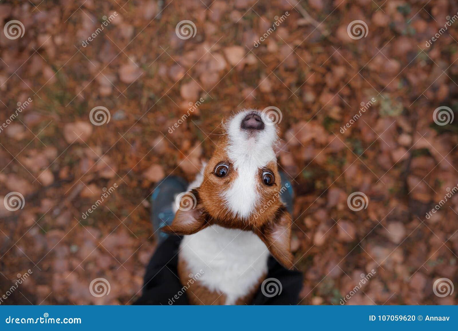 Hunden ser upp för stålar russell utomhus terrier