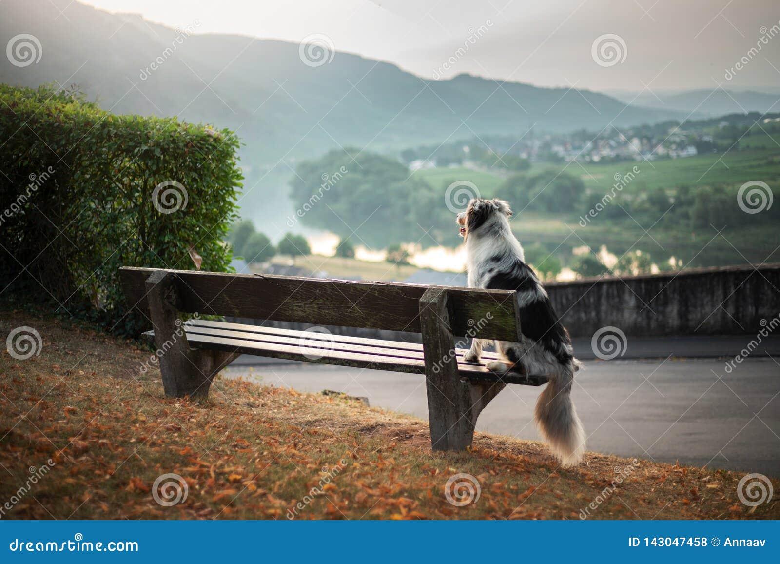 Hunden sitter på en bänk och blickar på gryningen Australisk herde för marmor i natur gå