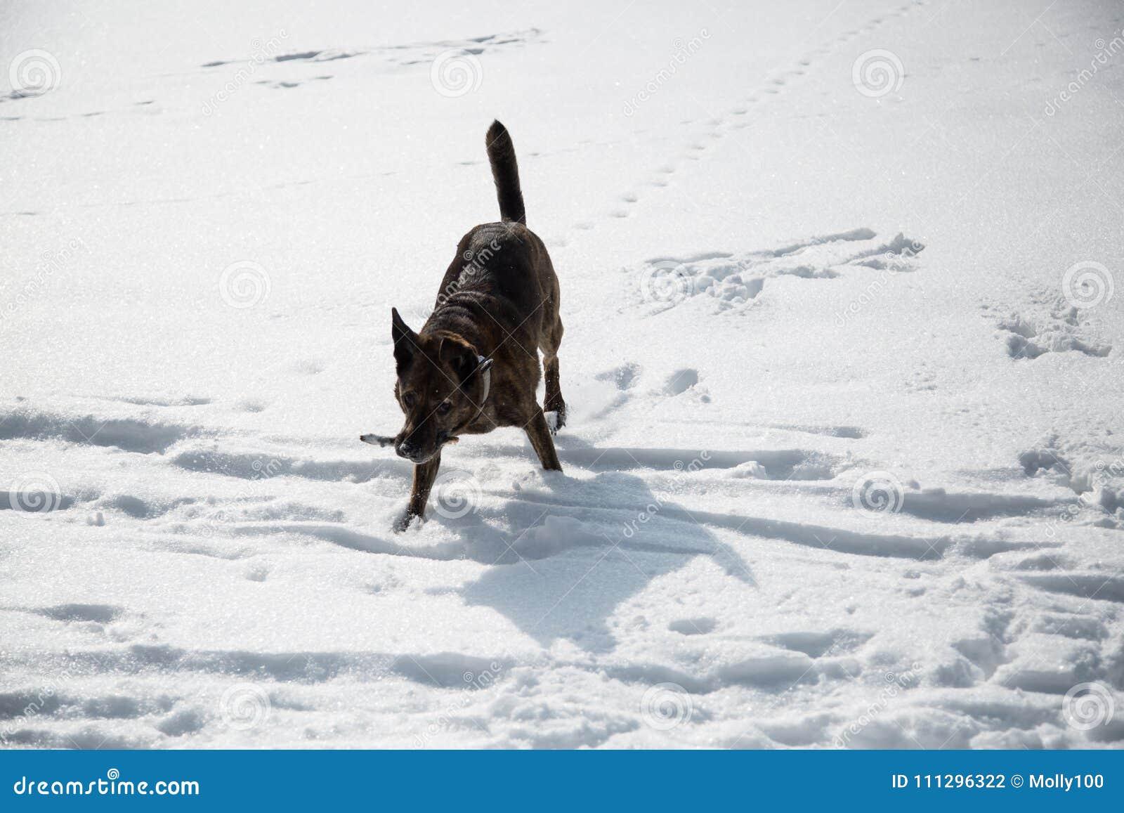 Hunden spelar i snön