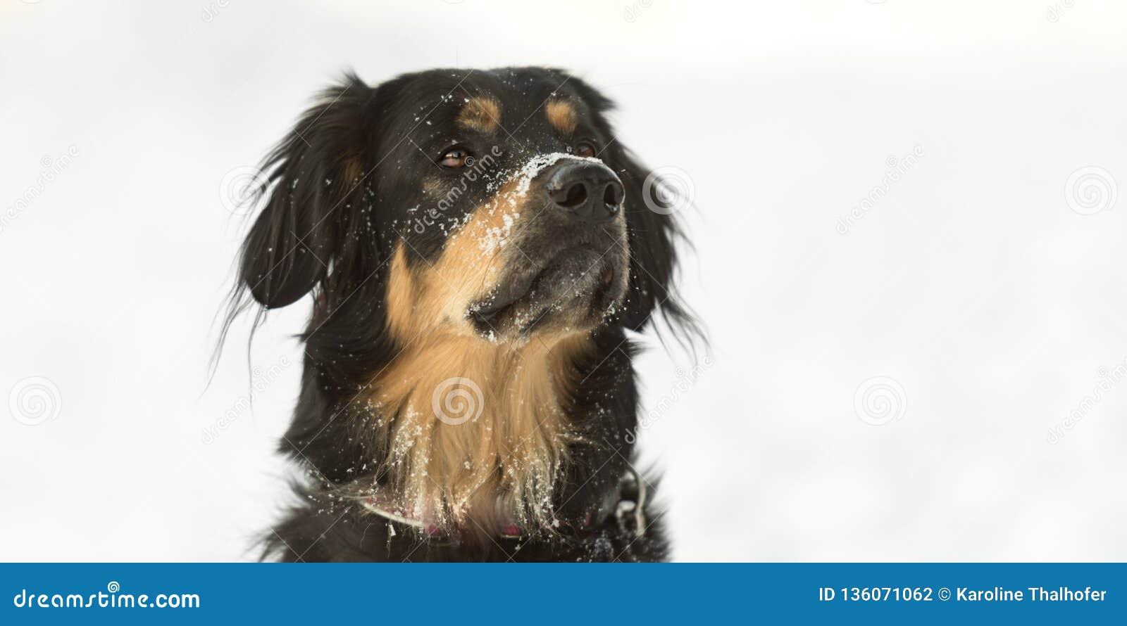 Hundeporträt in einem weißen Winterhintergrund Bernese Gebirgshund