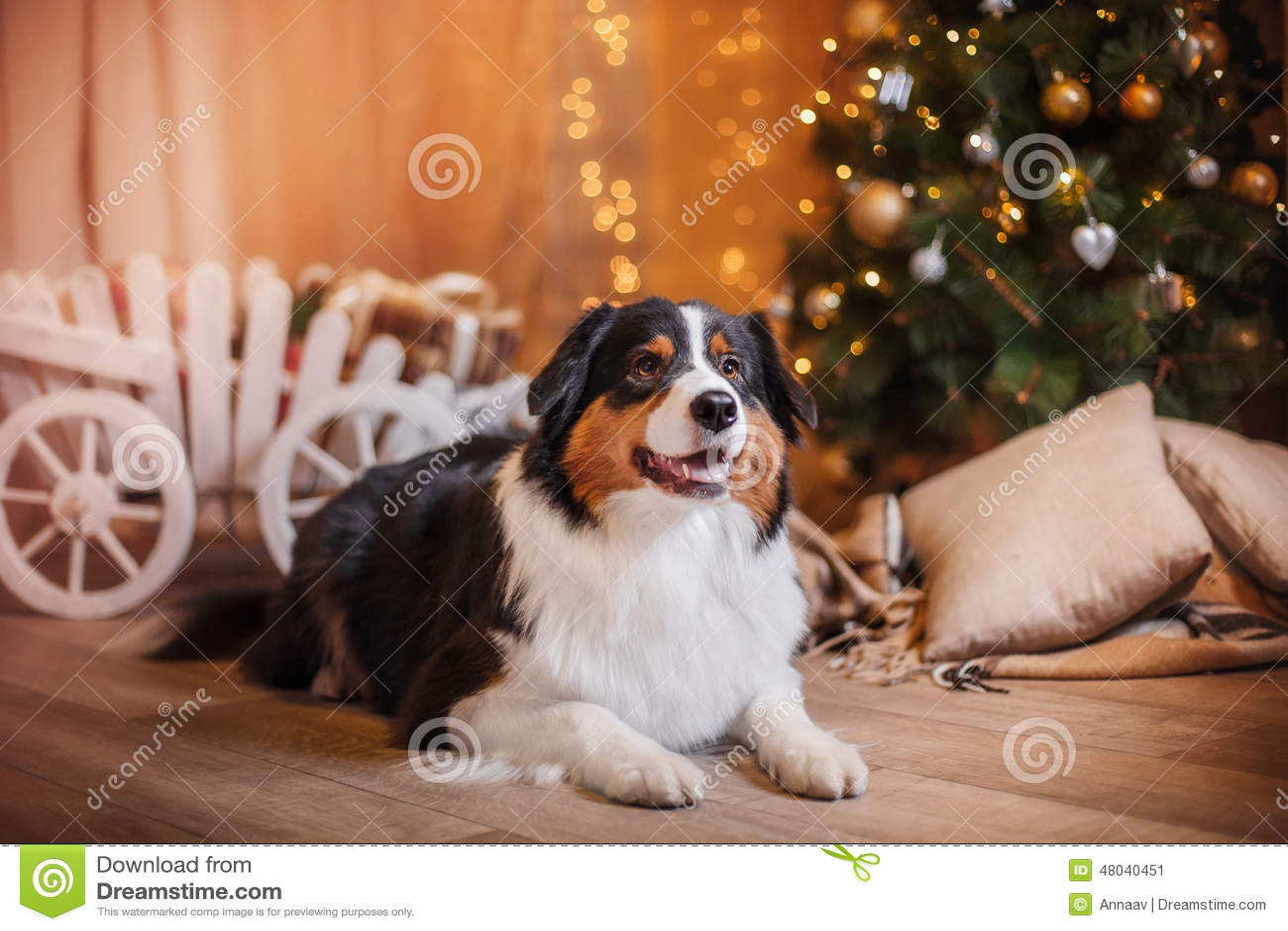 Hunderasse-australischer Schäfer, Australier, Weihnachten Und Neues ...
