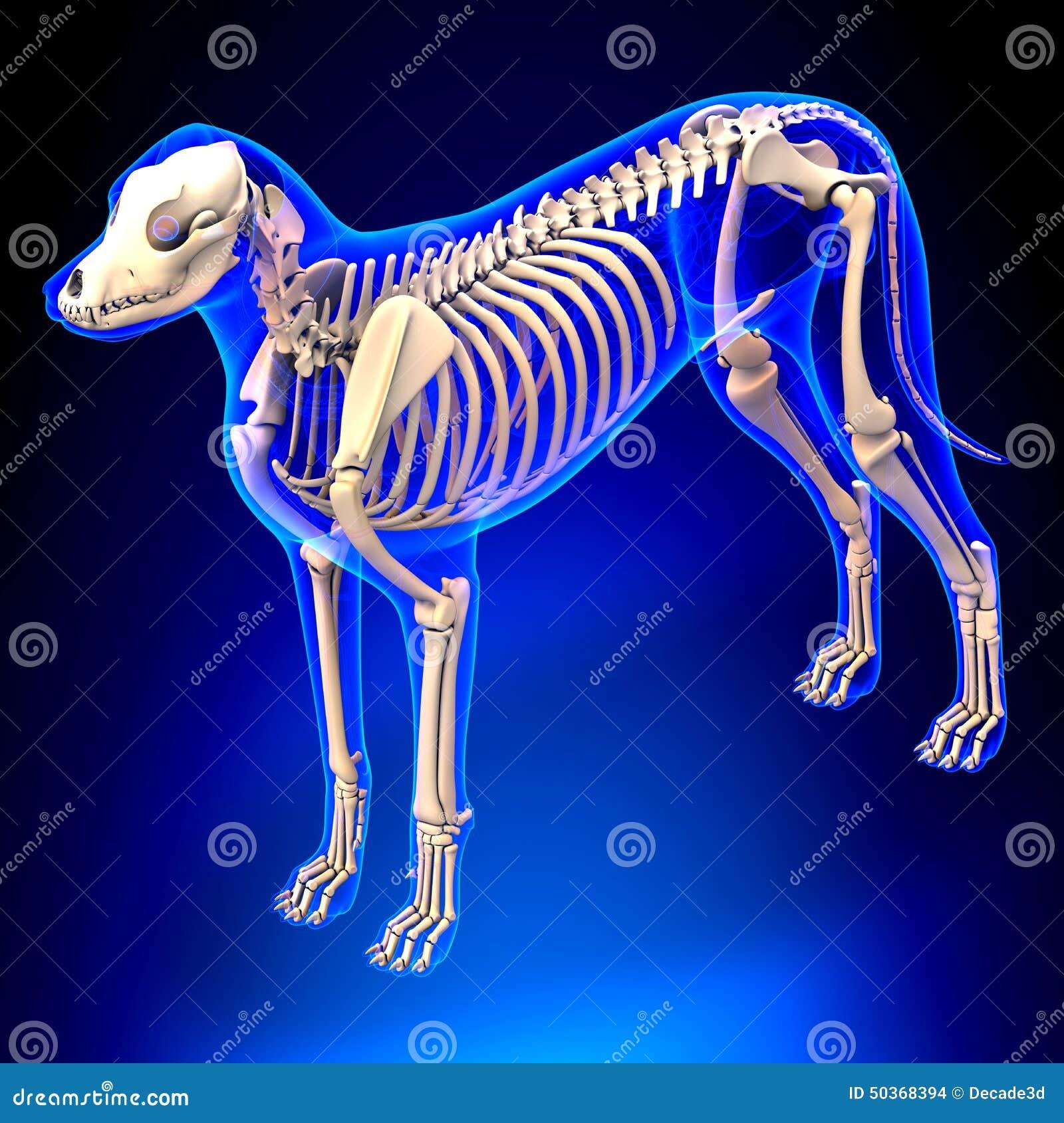 Hundeskelett - Canis Lupus Familiaris Anatomy - Perspektivenansicht ...